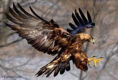 Eagle Images, Eagle Pictures, Amazing Animal Pictures, Wedge Tailed Eagle, Eagle Drawing, Eagle Art, Eagle Tattoos, Golden Eagle, Wildlife Nature