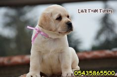 Labrador Retrievers, Labradors, Html, Turkey, Dogs, Animals, Labrador Retriever, Animales, Turkey Country