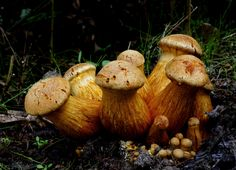 https://flic.kr/p/n8j6vh | Gymnopilus. | This impressive mushroom is found growing in dense clusters on stumps and logs of both hardwoods and conifers--and a number of associated species names are found growing in a dense cluster, as well. These species (if they are truly distinct), are all fairly large mushrooms that have orange to orangish brown spore prints, bitter taste, and stems that feature rings or ring zones. The central species name is Gymnopilus junonius, which is the correct…