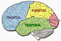 Los lóbulos del cerebro y sus distintas funciones - SALUD Y PSICOLOGIA