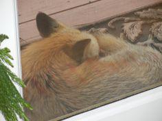 Red Fox sleeping at the door.