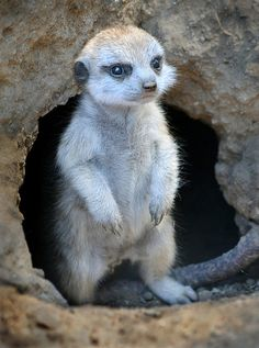 """Reflecting on a meerkat - """"This baby meerkat was born at the San Diego Zoo in July of last year, but he's cute enough to merit a second look."""" - Ion Moe"""
