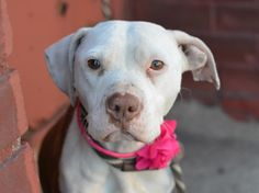 Brooklyn Center LINN - A1031595 FEMALE, BROWN / WHITE, PIT BULL MIX, 3 yrs STRAY - STRAY WAIT, NO HOLD Reason STRAY Intake condition ILLNESS Intake Date 03/28/2015 https://www.facebook.com/photo.php?fbid=985813008098245 +++++VERY SWEET - VERY SKINNY+++++