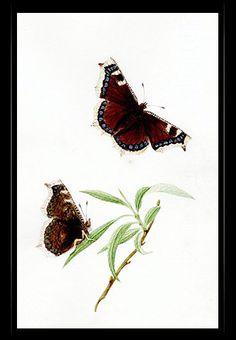 """Camberwell Beauty"" {Nymphalis antiopa} by Katherine Plymley."