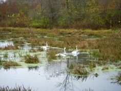 Trumpeter swans in a pond near Ponca, Ark.