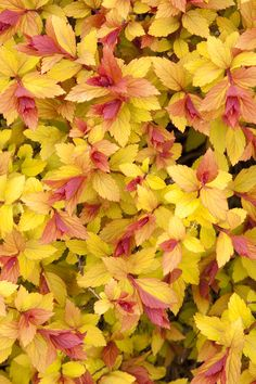 Magic Carpet Spirea -- Clusters of small pink flowers contrast with bright gold mature foliage that turns rich russet red in fall. Use to brighten and fill in beds and borders. Full sun. Zones 4-7