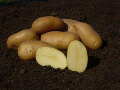 Veľmi skoré - Sadbové zemiaky.sk - zemiaky na sadenie, objednávky, rozvoz Seeds, Potatoes, Vegetables, Food, Potato, Essen, Vegetable Recipes, Meals, Yemek