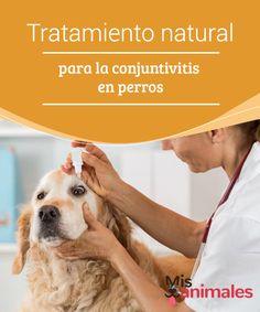 Tratamiento natural para la conjuntivitis en perros. Para nadie es un secreto que la vista es uno de los sentidos más importantes para los animales. El ojo es sensible a las enfermedades, y por esto les traemos algunas recetas caseras para la conjuntivitis en perros. #tratamiento #natural #conjuntivitis #perros #misanimales