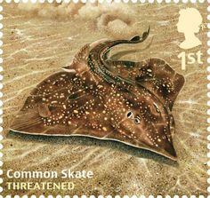 Undated handout photo issued by Royal Mail from their Sustainable Fish Special Stamps issue showing a Common Skate.