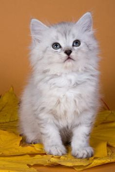 Siberian Cat Breed - CUTE long haired<3