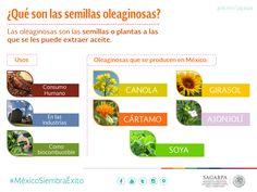 ¿Qué son las semillas oleaginosas? SAGARPA SAGARPAMX