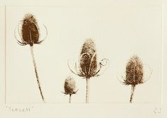 Solar plate etching on Somerset Velvet, 300gsm, soft white, 100% cotton rag paper. Entitled Teasels. Individually hand-printed in Sepia. Open edition, titled and initialed. Used no more for the combing of wool here, but still growing wild in the banks above the ditches and drains. Like some beleaguered soldiers in their Busbies, left behind in no-mans land. Image size: 179mm wide x 112mm deep (approx 7 x 4.1/2 inches) Paper size: At least 225mm wide x 185mm deep (approx 9 x 7.1/4 inches) ...