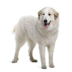 Il Cane da Montagna dei Pirenei è un cane di taglia grande affettuoso e dolce anche con i bambini. La sua incredibile dedizione alla famiglia è la sua caratteristica più apprezzata.