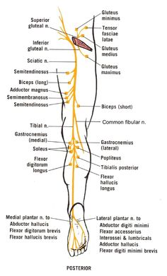 Sciatic Nerve course, divisions and served muscles