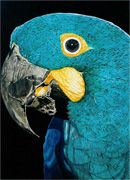 Curaçá (Bahia) Brasile   Pintura das araras azuis: Anodorhynchus hyacinthinus, A. leari e ...