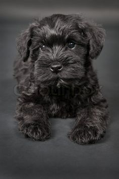 ... of stock image of black little cute puppy zwergschnauzer dog wallpaper