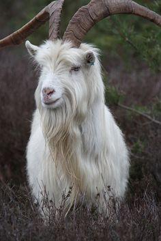 named Howard Wild Creatures, All Gods Creatures, Cabras Saanen, Zoo Animals, Cute Animals, Types Of Goats, Animal Species, My Animal, Beautiful Creatures