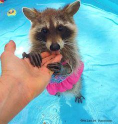 Baby Raccoon Having Swimming Lessons