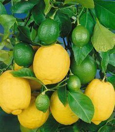 Pflegetipps für das Zitronenbäumchen