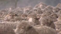 Why make lip balm from sheep wool? - Science (7,8)