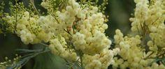 Portal Multiflora: Acacia mearnsii