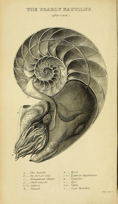 "theartfulgene:  Nautilus is one of the best examples of the logarithmic spirals found in nature. Famous mathematician Jacob Bernoulli said that logarithmic spirals are a symbol of ""fortitude and constancy in adversity, or of the human body, which after all its changes, even after death, will be restored to its exact and perfect self"".  Drawing from A manual of the Mollusca : a treatise on recent and fossil shells by Dr. S. P. Woodward"