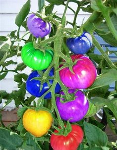 Favorable Rainbow Tomato Seeds Magic Garden Colorful Bonsai Organic Vegetables and Fruits Seeds Home Yard - NewChic Mobile garden fruit Growing Tomatoes From Seed, Growing Tomatoes In Containers, Grow Tomatoes, Cherry Tomatoes, Fruit Seeds, Tomato Seeds, Planting Vegetables, Organic Vegetables, Vegetable Gardening