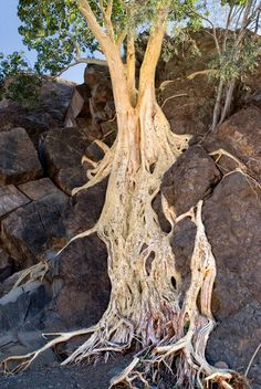 Ficus palmeri - Desert Fig - Baja California