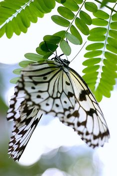 white butterfly in black outline hanging upside down onto green leaf (via BeautyMotherNature.tumblr 49251023185)