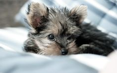 images of yorkies | Lovely Yorkie Puppies Pictures and Wallpapers