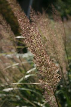 1000 images about gras tuinen on pinterest ornamental for Ornamental grasses that stay green all year