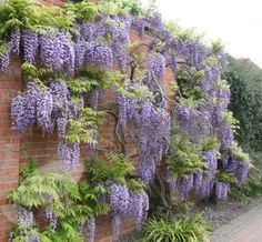 Wisteria Cascading over a wall