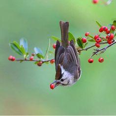 .taiwan yuhina Photo by @joinus12345 #sweet#heaven #fruits#bird #instabird #birds#beautiful