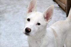 Pearl is an adoptable Shepherd Dog in Minneapolis, MN. Pearl is an adorable 3-4 month old Shepherd/Husky mix pup who is searching for a home to call her own. Pearl was picked up as a stray and never r...