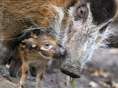 Aww! Newborn Red River Hog Nuzzles Its Mother - Baby Animals, Cute Pets, Zoo Animals : People.com