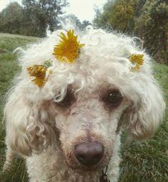 my hippie poodle 🐩✌ #dog #poodle