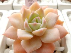 "Echeveria 'Hime Shougetsu' | or in my book i'm calling it the ""orange sherbet echie"""
