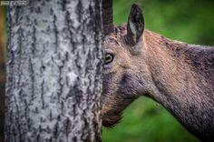 Parc Animalier Introd (Italy): Ibex #animal
