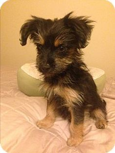 Santa Barbara, CA - Yorkie, Yorkshire Terrier/Maltese Mix. Meet Sophia, a puppy for adoption. http://www.adoptapet.com/pet/14560877-santa-barbara-california-yorkie-yorkshire-terrier-mix