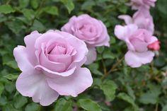 デルバールのバラ、ローズシネルジックのバラの苗