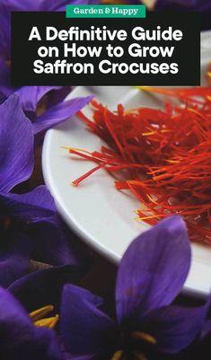03b5bf3b74a37e If you know how to grow saffron crocuses