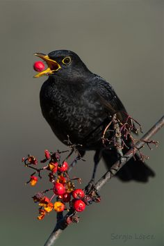 Mirlo comiendo Love Birds, Beautiful Birds, Animals Beautiful, Crow Painting, Robin Bird, Crows Ravens, Bird Theme, Colorful Birds, Wild Birds