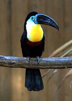 Tucano-de-bico-preto ( Ramphastos vitellinus)