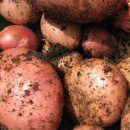 10 pasos para cultivar patatas en macetas o sacos