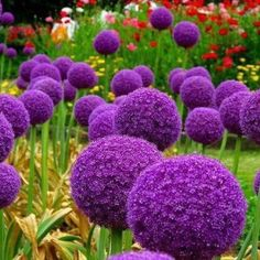 Allium - aka Horton Hears a Who flower. :)