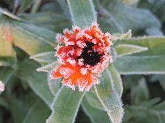 Frozen Marigold flower