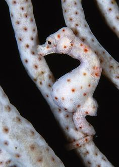 White Pygmy Seahorse found on sea fans with same coloration. Raja Ampat, Indonesia