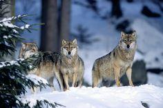 Une meute de loups cherche un éleveur à faire chier - http://boulevard69.com/une-meute-de-loups-cherche-un-eleveur-a-faire-chier/?Boulevard69