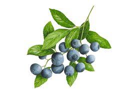 "Blueberries © 2013 ~ annamasonart.com ~ 31 x 23 cm (12"" x 9"")"