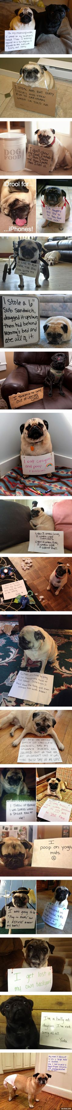 Pug Shaming. Not gonna lie, some of these were pretty funny!
